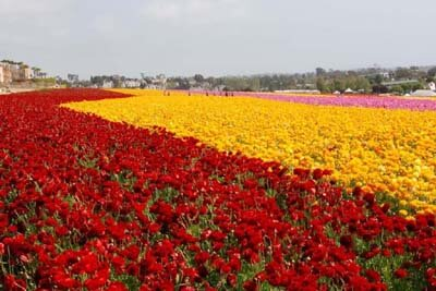 Carlsbad flowers in full bloom