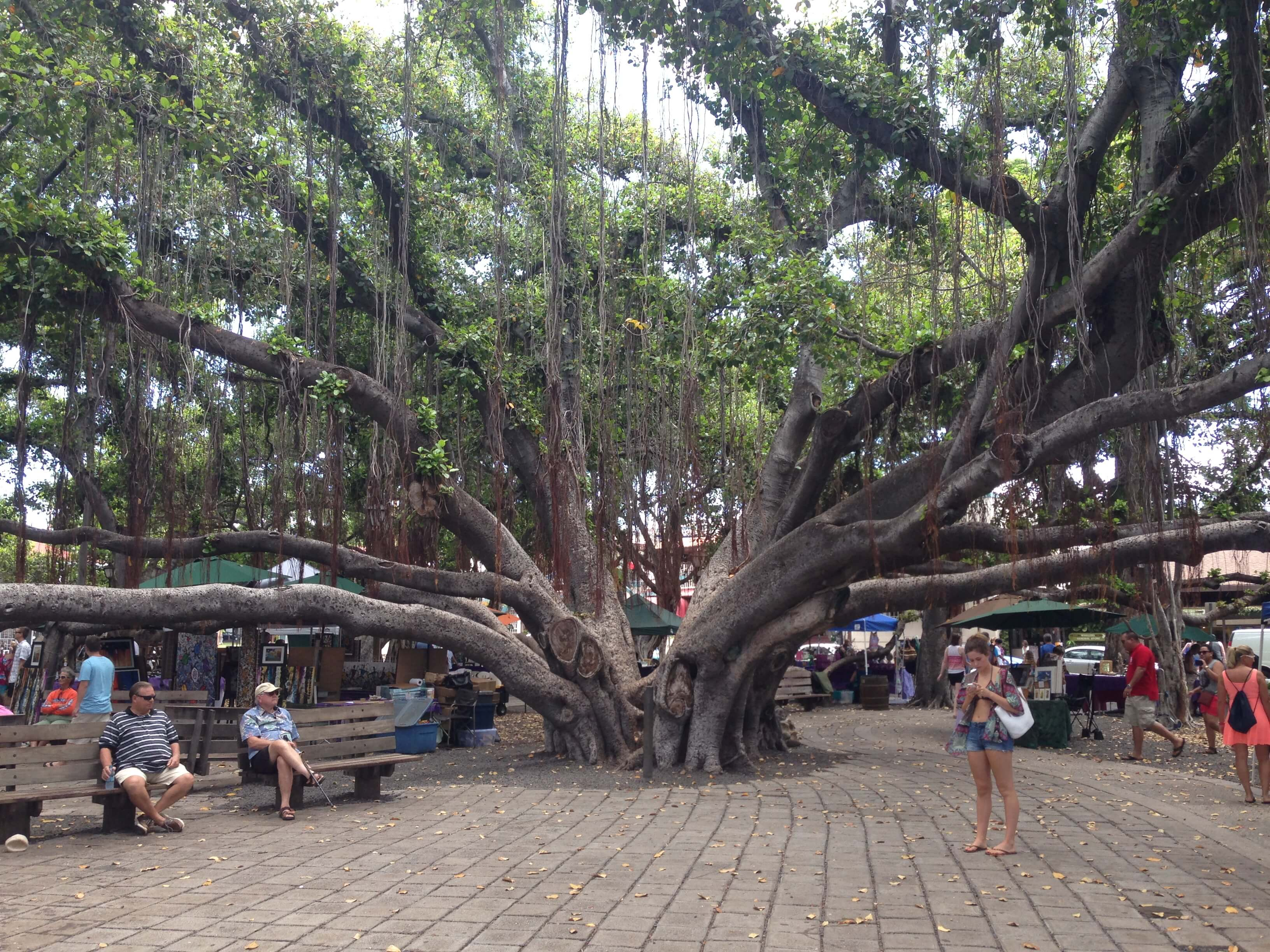 The center of Lahaina's town square and the banyan tree