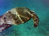 Turtle swims along the reef